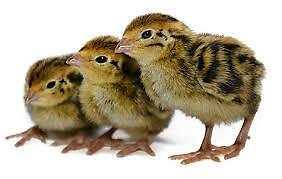 Baby quail for sale