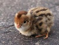 Baby quail! Perfect for kids or hobbyist!