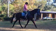 RIDING PONY X TB - Pony Club / Show / Dressage / Trail Seaham Port Stephens Area Preview