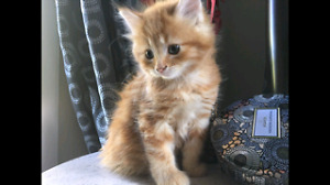 Orange Male kitten