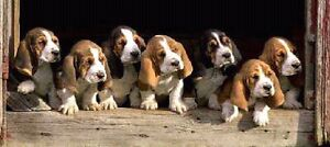 Looking for basset hound for Christmas