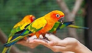 LOOKING FOR TAMED PARROTS!!
