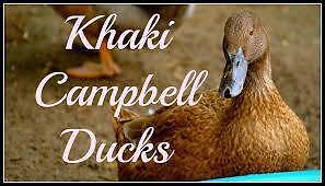 FEMALES  Wanted ..... Khaki Campbell Ducks..... FEMALES Geelong Geelong City Preview