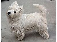 Westie puppy male