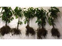 hedging portuguese laurel