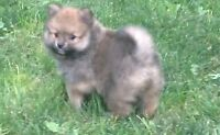 Sturdy Male Pomeranian, for the more active family.