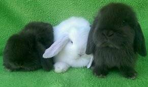 ***QUALITY  PUREBRED  MINI LOPS VACCINATED HUTCH PACKAGE DEALS Londonderry Penrith Area Preview