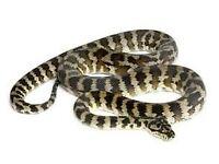 Male jungle jag carpet python