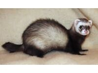 Ferrets - polecats for sale