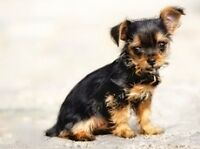 XX tiny Teacup Yorkie/Yorkshire Hypo-allergenic and non shedding