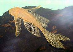 Looking for adult/sub-adult albino longfin bristlenose Calamvale Brisbane South West Preview