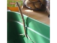 Indian stick insects