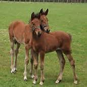 LEGAL ACTION-Rare and Endangered Cleveland Bay Horses