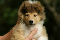 Pure bred CKC Rough Collie puppies