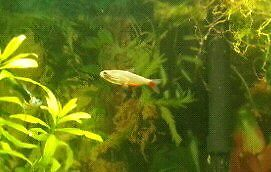 Trade two blood fin tetras for two female guppies