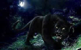 Panther Dvd