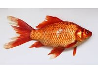assorted ornamental pond fish **free****