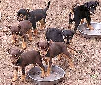 Wanting/ want free border collie, kelpie pup Buderim Maroochydore Area Preview