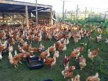 RESCUE EX BATTERY HENS MELBOURNE ISA BROWN CHICKENS CHOOKS Skye Frankston Area Preview