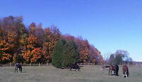 16 stall horse barn available for rent in Hillsburgh