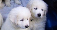 Maremma Puppies For Sale- (Males & females still available)