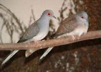 Breeding pair of diamond dove 1 m and 1f