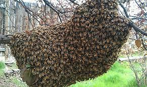 Honey Bee Rescue and Removal - Swarm Rescue Kitchener / Waterloo Kitchener Area image 5
