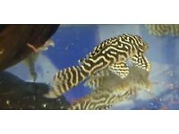 L129 columbian zebra pleco 7-8cm