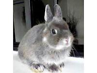 Netherland Dwarf Rabbits - Cute & Small