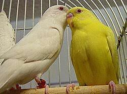 WANTED:  Lutino White or Yellow BUDGIES Albion Park Rail Shellharbour Area Preview