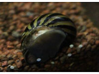 NERITE Snail (aquatic snail) FREE to GOOD Home. Needst o go ASAP
