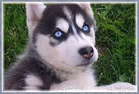 Looking for a Black and White Male Husky Puppy with Blue Eyes London Ontario image 1