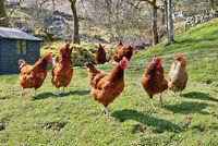 Chicken for sale (pastured meat chickens) *Organic