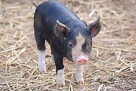 """Pure English heritage Berkshire piglets for sale"""""""