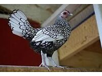 sebright cockerel free to good home