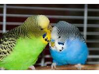 Male and female pair baby budgies with new cage & stand