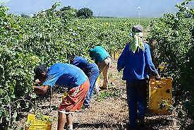 GRAPE PICKERS WANTED!