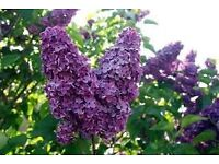 Lilac tree 33'' potted