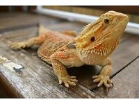 Lovely new home needed for Django. Bearded dragon, free to the right person.