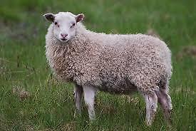 troupeau finnois brebis agneaux enregistrés
