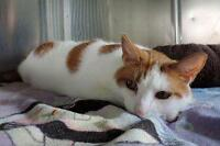 "Adult Male Cat - Domestic Short Hair: ""Finnick"""