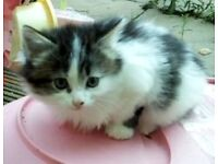 Sweet little white & Tabby fluffy Kittens in need of a loving family home... very good with toddlers