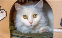 "Senior Female Cat - Domestic Long Hair: ""Ivory"""