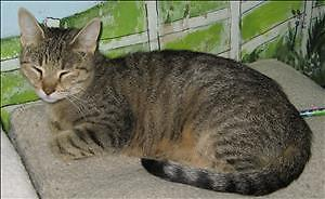 """Young Female Cat - Domestic Short Hair: """"Linnie"""""""