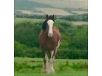 16.2/3 Clydesdale mare 10yr