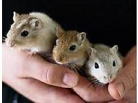 baby mongolian gerbils.