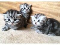 Beautiful Pedigree Silver Tabby British Shorthair Kittens