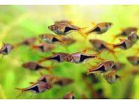 Harlequinn Raspbora - tropical fish great for community tank