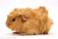WANTED: orange Spiked haired guinea pig FEMALE Gawler Gawler Area Preview