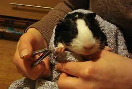 Guinea -Pigs needing homes Loxton Loxton Waikerie Preview